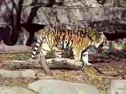 King of the jungle? (TIGER ROARS)