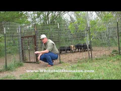 Home-Made Hog Trap And Pen