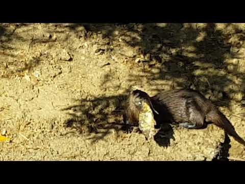 River otters in the Contra Costa Canal