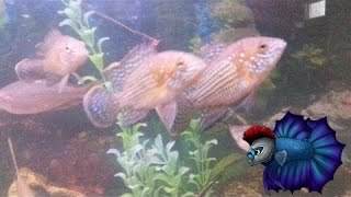 How To Breed And Care For Green Terror Cichlids