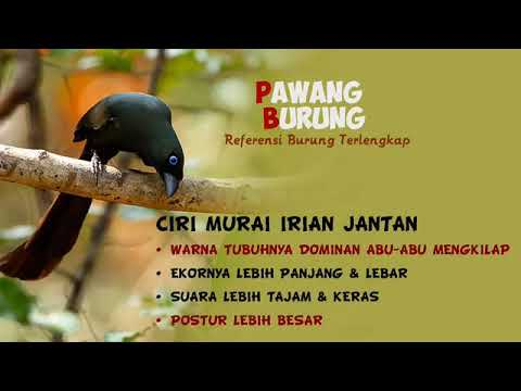 Ciri Burung Murai Irian Jantan Betina Mp4 Youtube