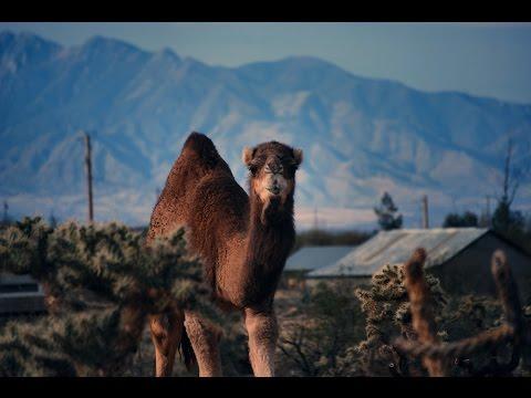 GIANT CAMEL SLOWLY STALKS Newborn Lamb (Too Cute!)