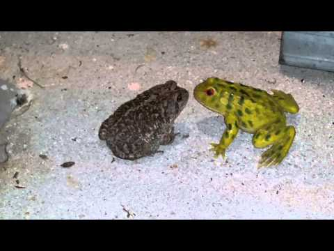 Real frog VS fake frog