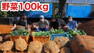 Give 100 kg of vegetables to a herd of giant tortoises