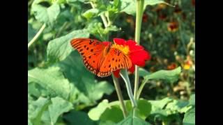 видео Бруннера - серебристая красавица, Сорта, выращивание, уход