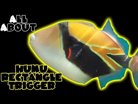 All About The Humu Rectangle Triggerfish
