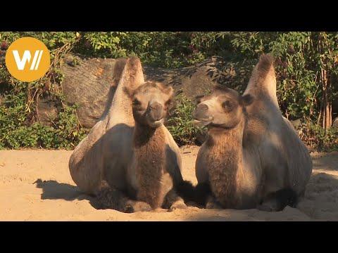 Trampeltier | Unsere Tierwelt (Kurze Tierdokumentation)