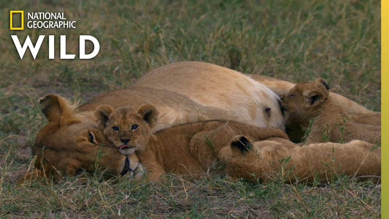Lion Mother Keeps Cubs Safe From Predator | Born In Africa