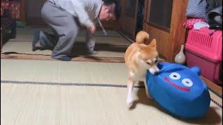 華麗にスライムを奪還する柴犬 Scrambled for the toy