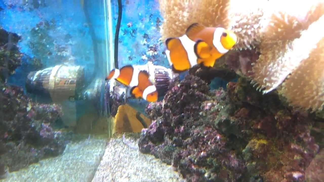 clown fish at pet shop youtube