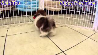 Shih Tzu, Puppies, For, Sale, In, West Jordan, Utah, County, Ut, Utah, Davis, Cache, Box Elder, Iron