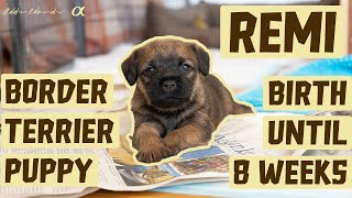 OUR FIRST DOG  NEW BORDER TERRIER PUPPY | Our puppy from 24 hours to 8 weeks old