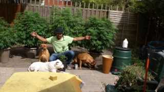 Growing Weed Outdoor First Time 2011 starting to show small buds ( pictures ) Whit my Bandogs