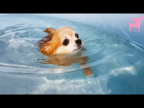 Cute Chihuahua Dogs Having Fun in the Swimming Pool