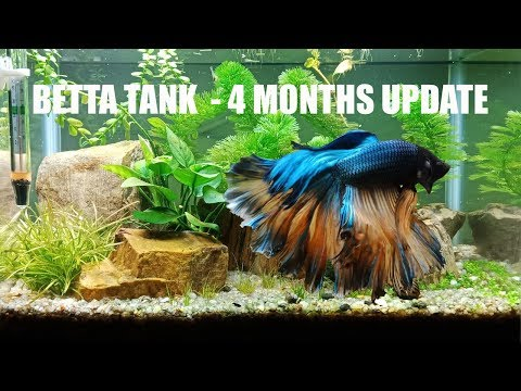 Betta Tank 3 Gallon, 4 Months Update