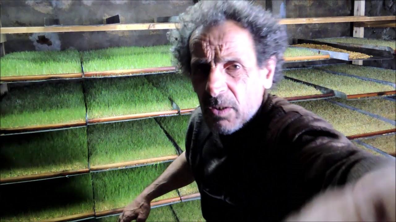 Arpa çimlendirme hasıl üretimi arpa çimlendirmenin tavuklara faydası #arpaçimlendirme