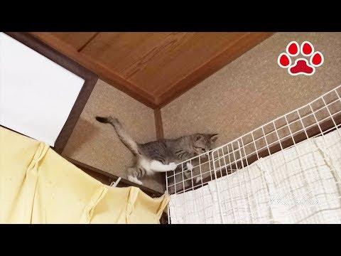 みみもカーテンに登ってたな A kitten who was climbing the curtain