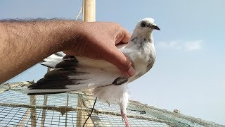 Pigeon Patho ko Dori kaise lagae chatri pe training dena in Urdu/Hindi.