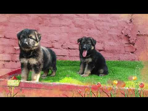 Apr 2019: Double Coat German Shepherd Puppies for Sale. 3 Pairs Available