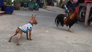 Chó phốc hươu chạy giỡn với gà trống