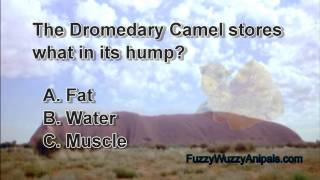 Dromedary Camel Animal Quiz