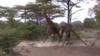 Fighting Giraffes - Excellent Footage thumbnail