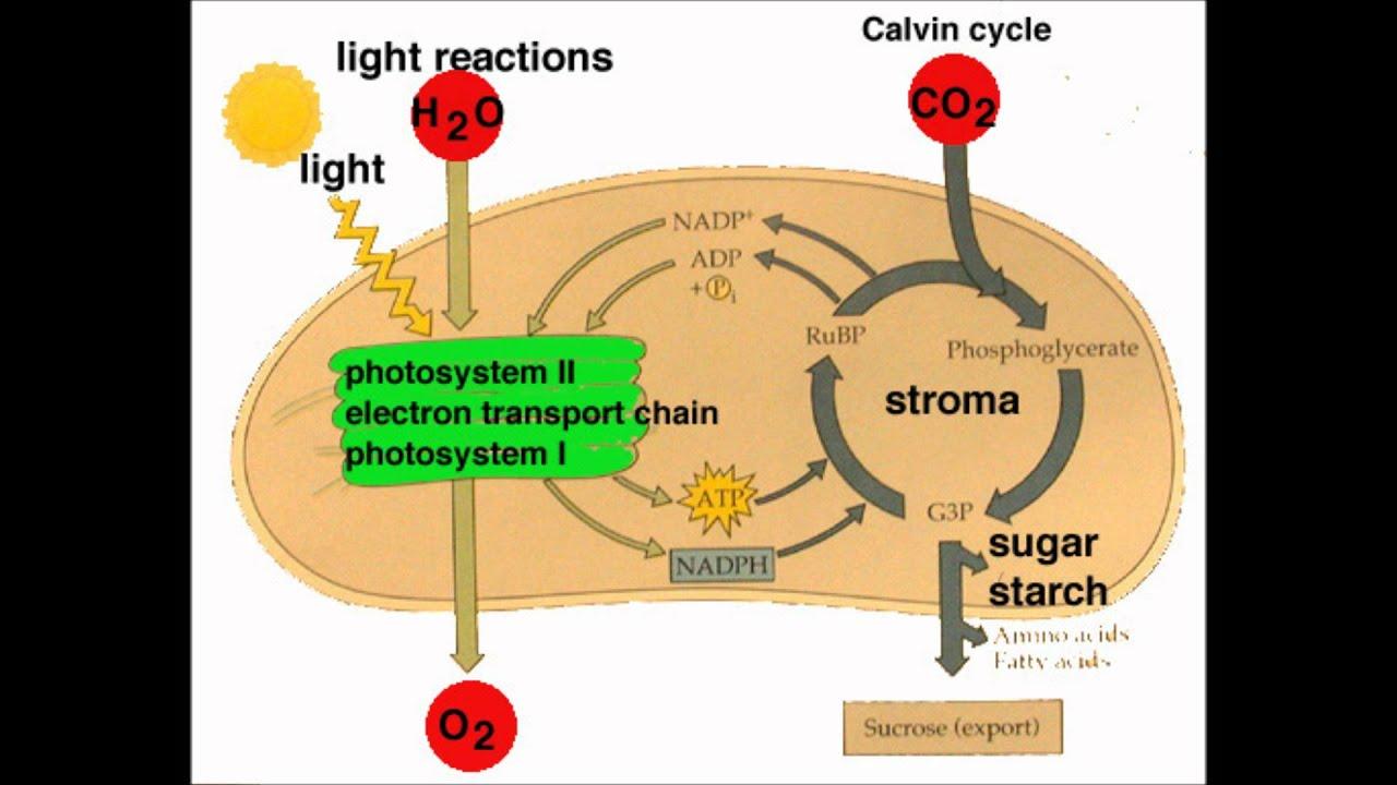 Light Reactions Photosystem Diagram 7 Way Trailer Plug Wiring Dodge My Biology Movie Youtube