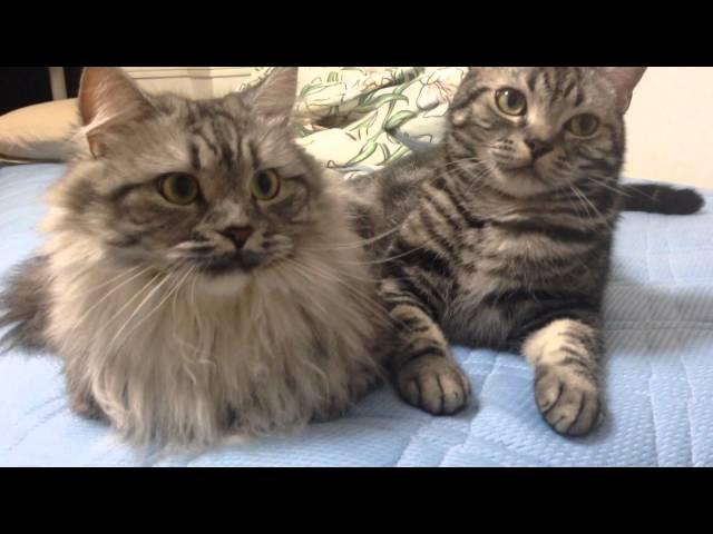 【アメショとマンチカン Cute Cats】シンクロする猫