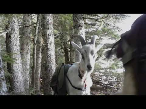 Hunting With Pack Goats Intro