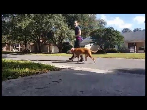 How To Solve Leash Reactivity with E-Collar Training Part 1 - Take the Lead K9 Training