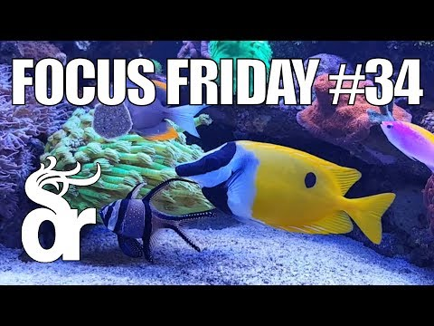 FF#34 | Keeping A Foxface (Siganus) In Your Reef Tank