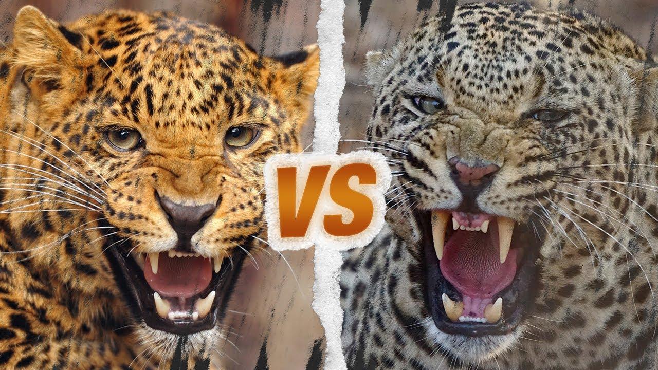 Download JAGUAR vs LEOPARD - Qui est le roi des fauves ?