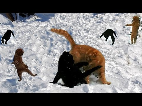Siberian farm cats dancing on the snow Танцы на снегу 19 октябрь 2016 Снег