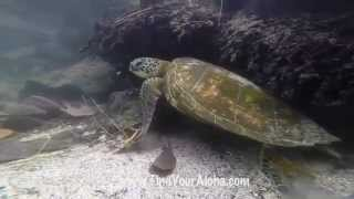 GoPro Hero 3+ Black Video of Sea Turtles on The Big Island of Hawaii while Snorkeling at Kiholo Bay