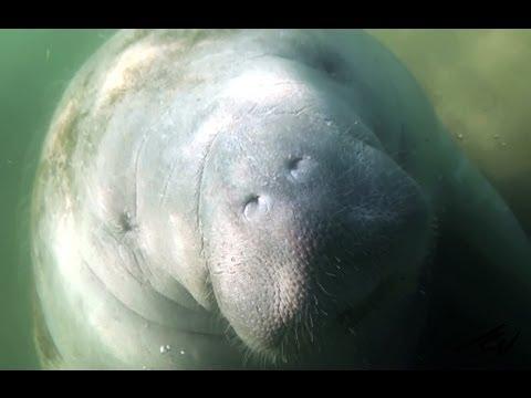 Manatee - Gentle Giant of Florida