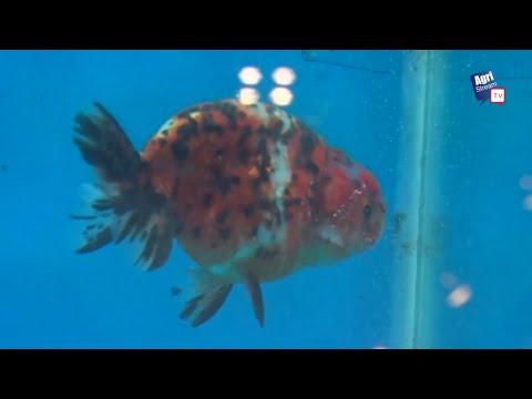AgriStream TV - Kontes Ikan Mas Koki Nusatic 2017