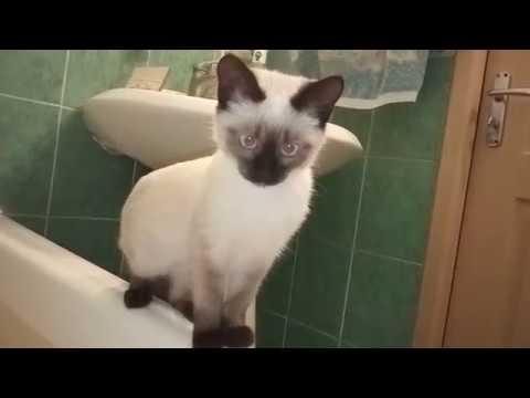 В ванной я и Тайская кошка
