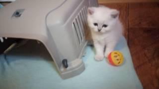 2016 11 08 Продажа ! Британские котята  с голубыми глазами , окрас сильвер пойнт,!