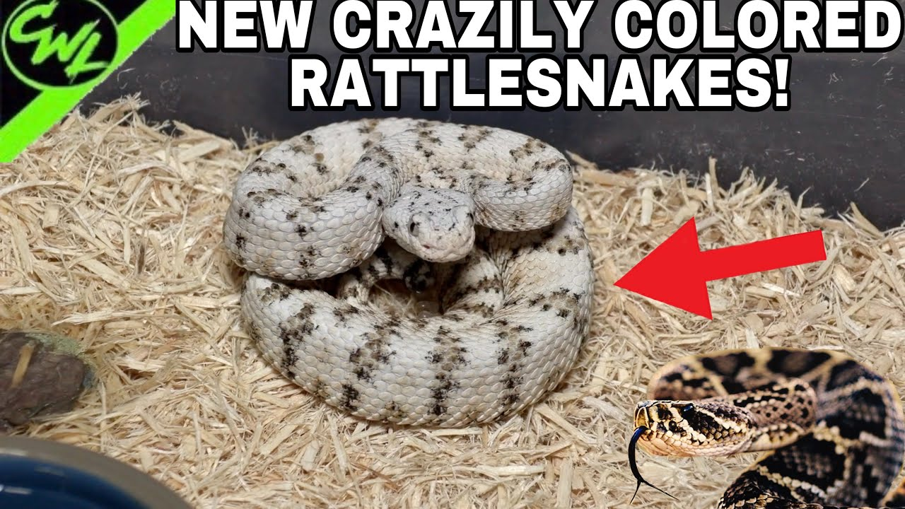 NEW CRAZILY COLORED RATTLESNAKES!!!