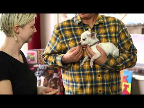 How to Hold a Chihuahua : Raising Your Dog