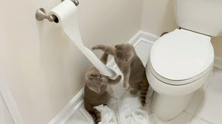 So FunnyAdorable Kittens Fighting Over Toilet Paper! Funny Cat Videos Cute British Shorthair Cats