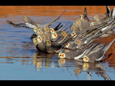 Cockatiels are the BEST | Broken Birds Edition | Happy Cockatiels | Cockatiel Funny Videos |