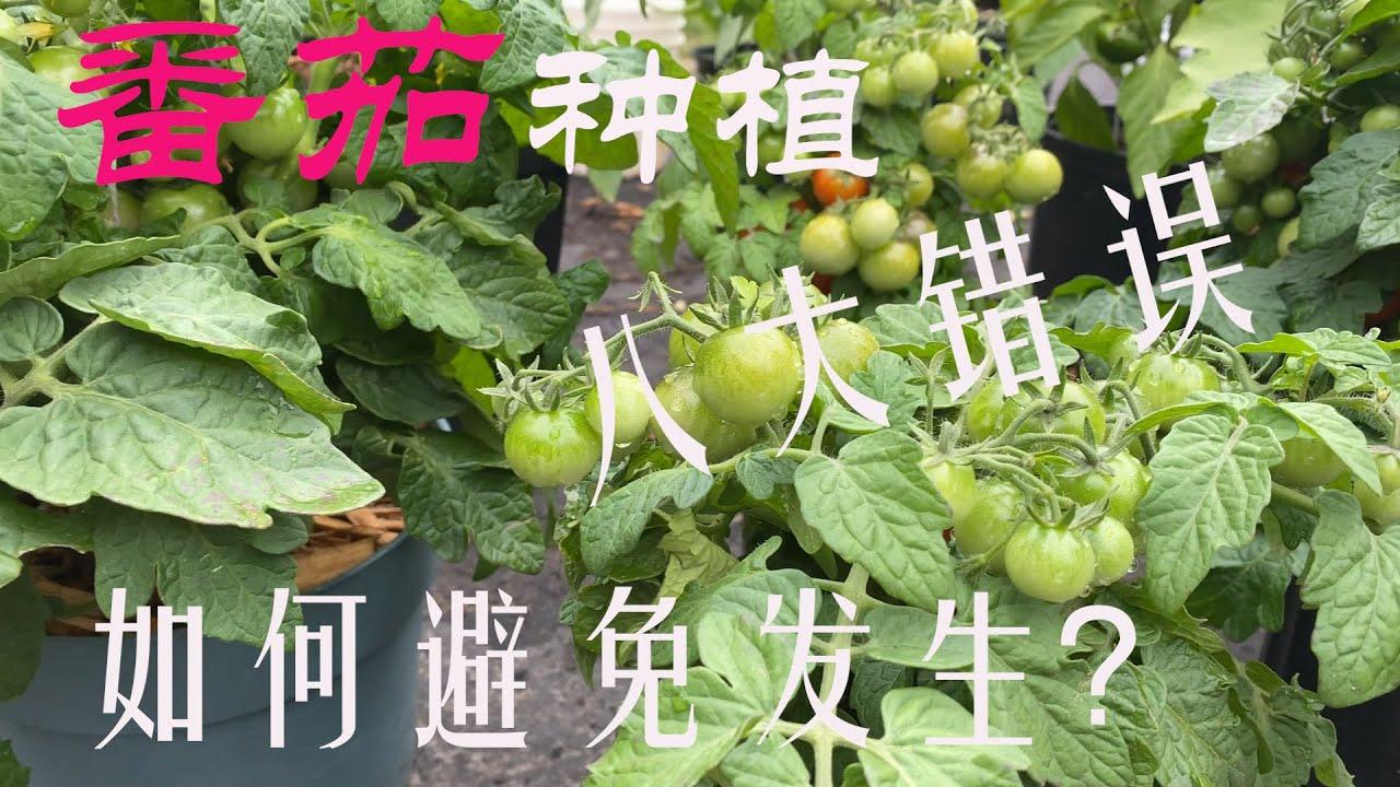 【渔耕笔记】番茄种植 |  常见的八大西红柿种植错误及如何避免发生