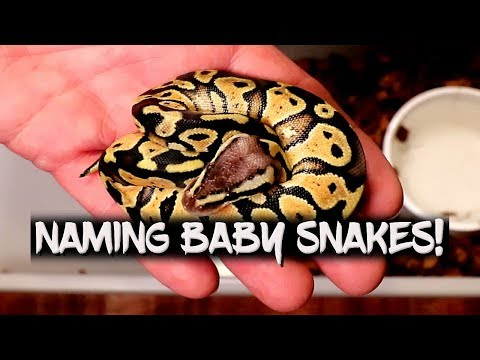 Giving Names To My Ball Python Hatchlings