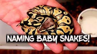 Giving names to my ball python hatchlings thumbnail