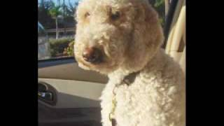 Poodle And Pooch  Rescue Florida  Wonderful World 0001