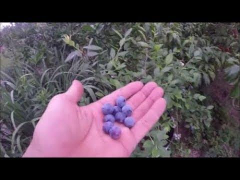 Growing blueberries in Houston