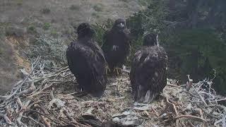 Sauces Bald Eagles - Channel Islands Cam 05-20-2018 10:16:03 - 11:16:04 thumbnail