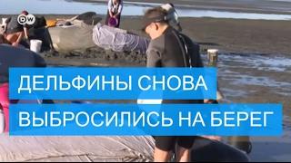Дельфины снова выбросились на берег в Новой Зеландии