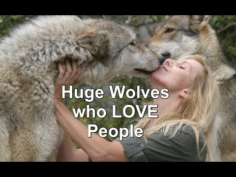 HUGE Wolves who LOVE People